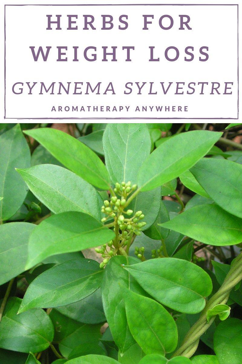 Herbs for Weight Loss- Gymnema Sylvestre