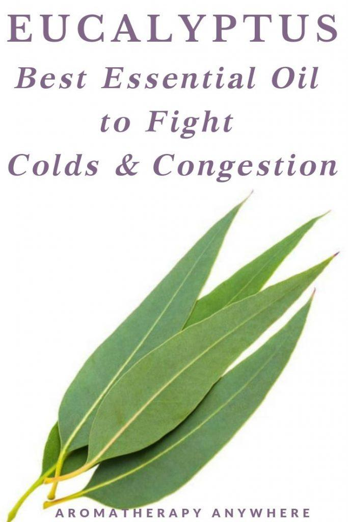 Eucalyptus leaves - Best Essential Oil to fight Colds & Congestion