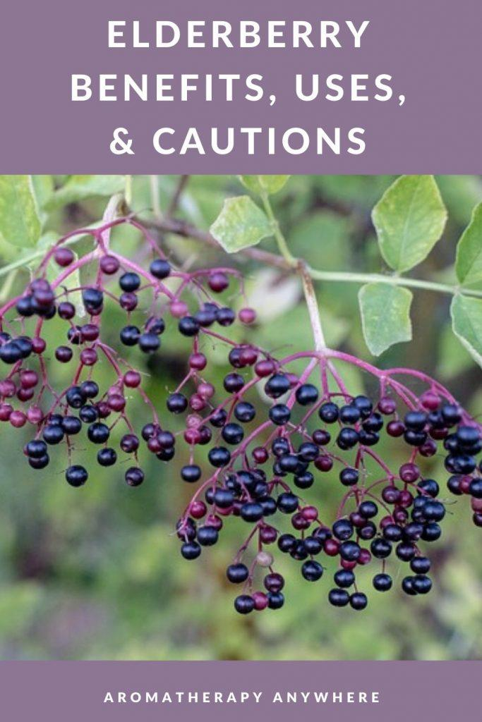 Elderberries on shrub