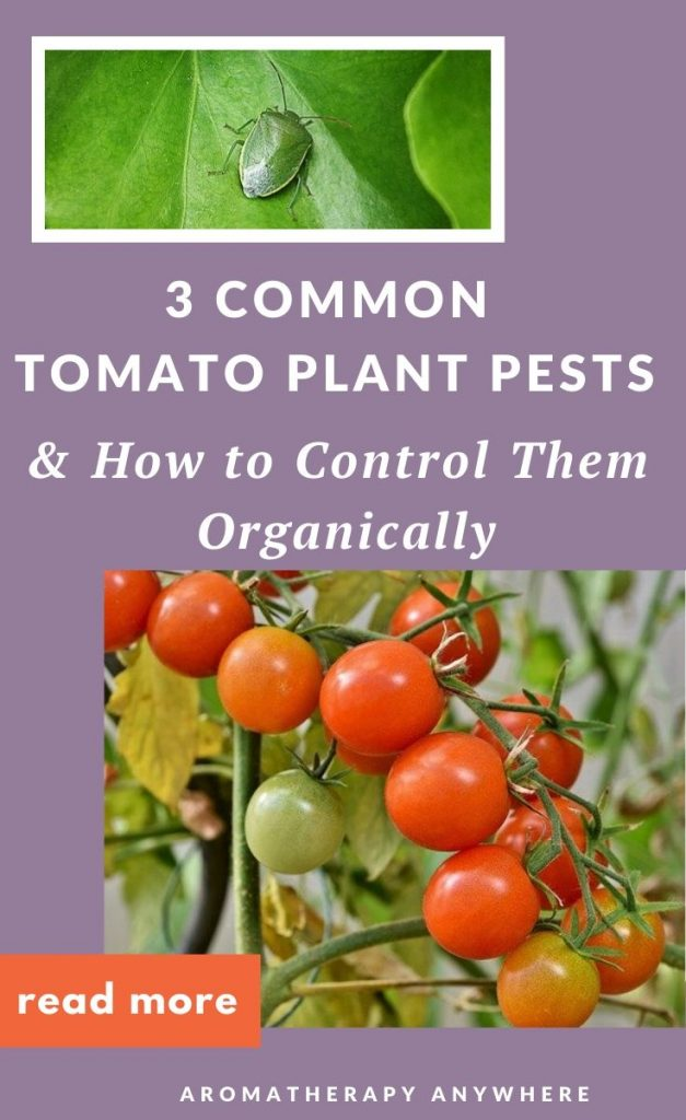 tomato plant+ tomato plant pest